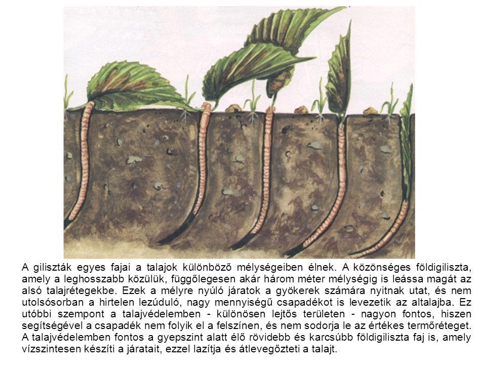 A giliszták egyes fajai a talajok különböző mélységeiben élnek.