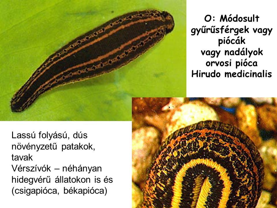 O: Módosult gyűrűsférgek vagy piócák vagy nadályok orvosi pióca Hirudo medicinalis Lassú folyású, dús növényzetű patakok, tavak Vérszívók – néhányan hidegvérű állatokon is és (csigapióca, békapióca)