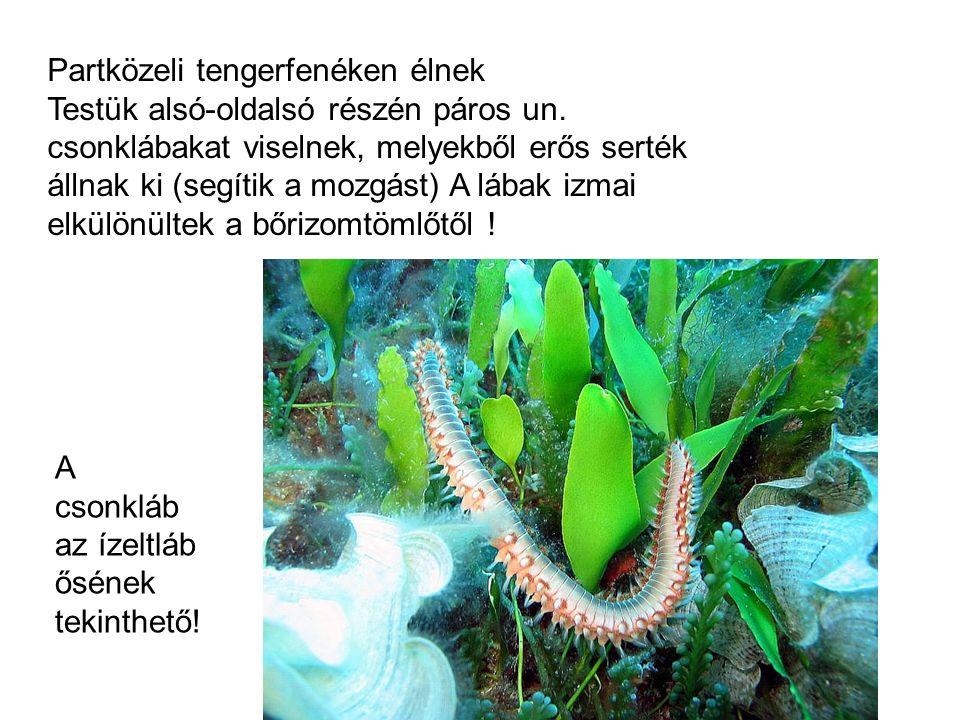 Partközeli tengerfenéken élnek Testük alsó-oldalsó részén páros un. csonklábakat viselnek, melyekből erős serték állnak ki (segítik a mozgást) A lábak