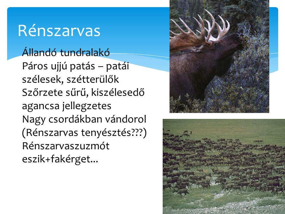 Rénszarvas Állandó tundralakó Páros ujjú patás – patái szélesek, szétterülők Szőrzete sűrű, kiszélesedő agancsa jellegzetes Nagy csordákban vándorol (
