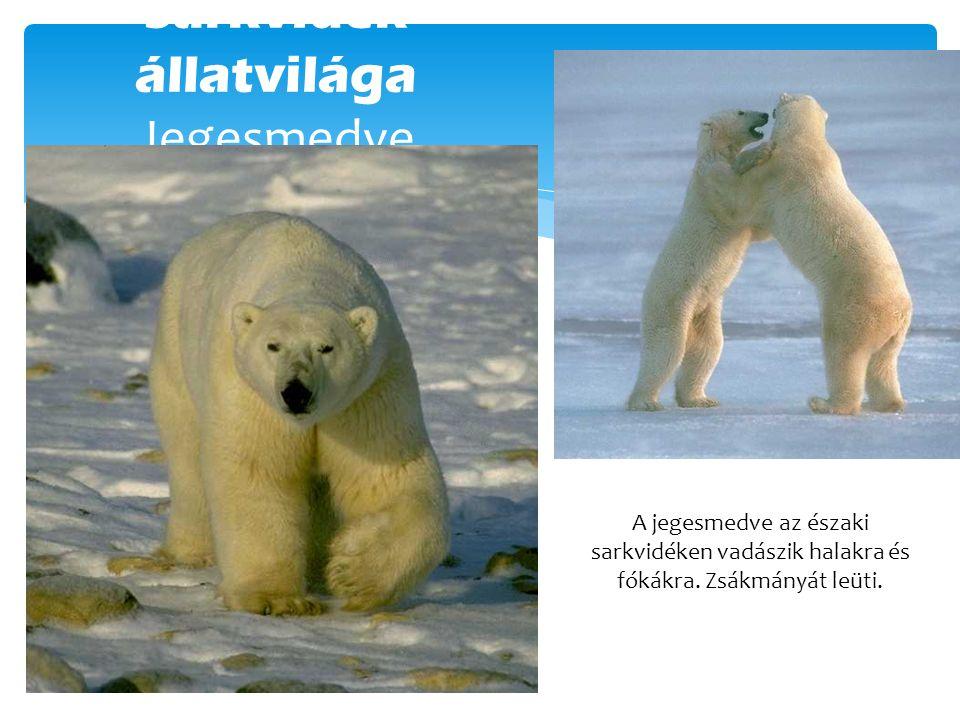 Sarkvidék állatvilága Jegesmedve A jegesmedve az északi sarkvidéken vadászik halakra és fókákra. Zsákmányát leüti.