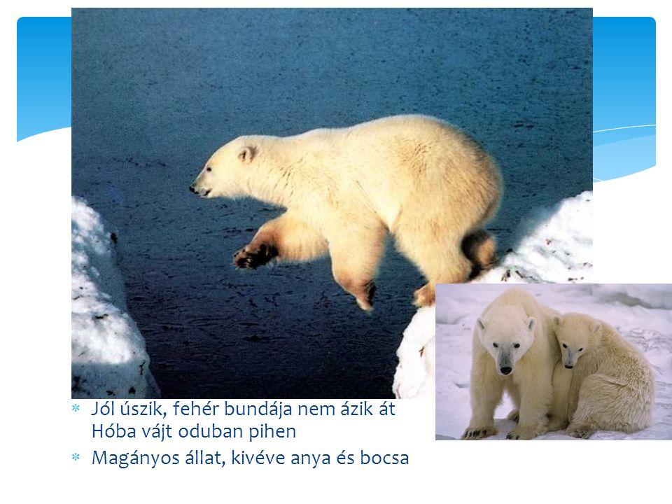  Jól úszik, fehér bundája nem ázik át Hóba vájt oduban pihen  Magányos állat, kivéve anya és bocsa