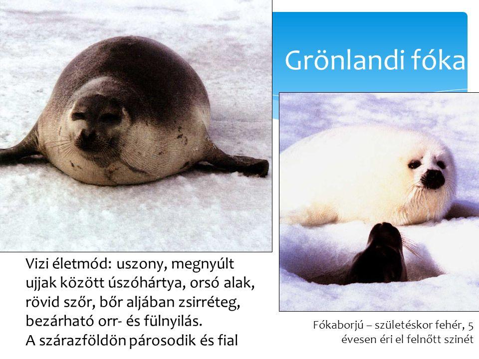Grönlandi fóka Fókaborjú – születéskor fehér, 5 évesen éri el felnőtt szinét Vizi életmód: uszony, megnyúlt ujjak között úszóhártya, orsó alak, rövid