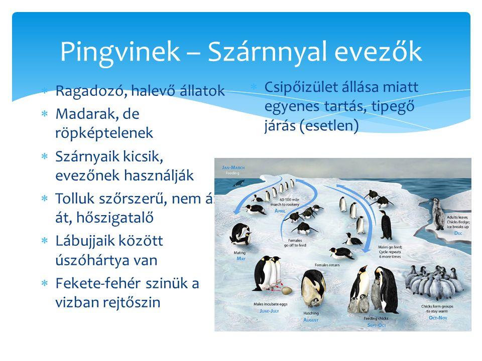 Pingvinek – Szárnnyal evezők  Ragadozó, halevő állatok  Madarak, de röpképtelenek  Szárnyaik kicsik, evezőnek használják  Tolluk szőrszerű, nem áz