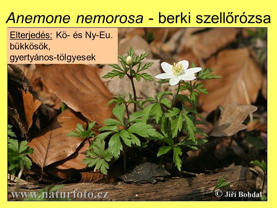 Anemone nemorosa - berki szellőrózsa Elterjedés: Kö- és Ny-Eu. bükkösök, gyertyános-tölgyesek