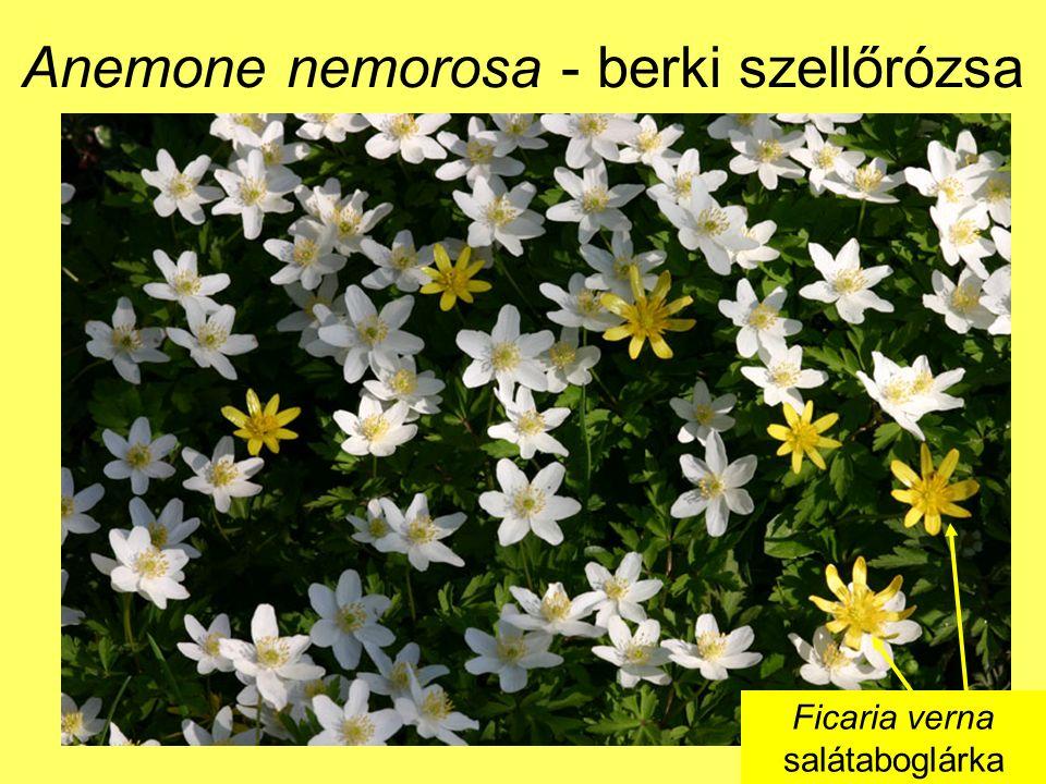 Anemone nemorosa - berki szellőrózsa Ficaria verna salátaboglárka