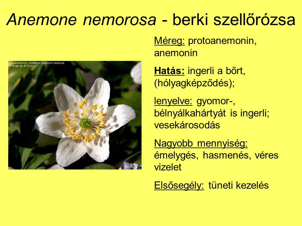 Anemone nemorosa - berki szellőrózsa Méreg: protoanemonin, anemonin Hatás: ingerli a bőrt, (hólyagképződés); lenyelve: gyomor-, bélnyálkahártyát is ingerli; vesekárosodás Nagyobb mennyiség: émelygés, hasmenés, véres vizelet Elsősegély: tüneti kezelés
