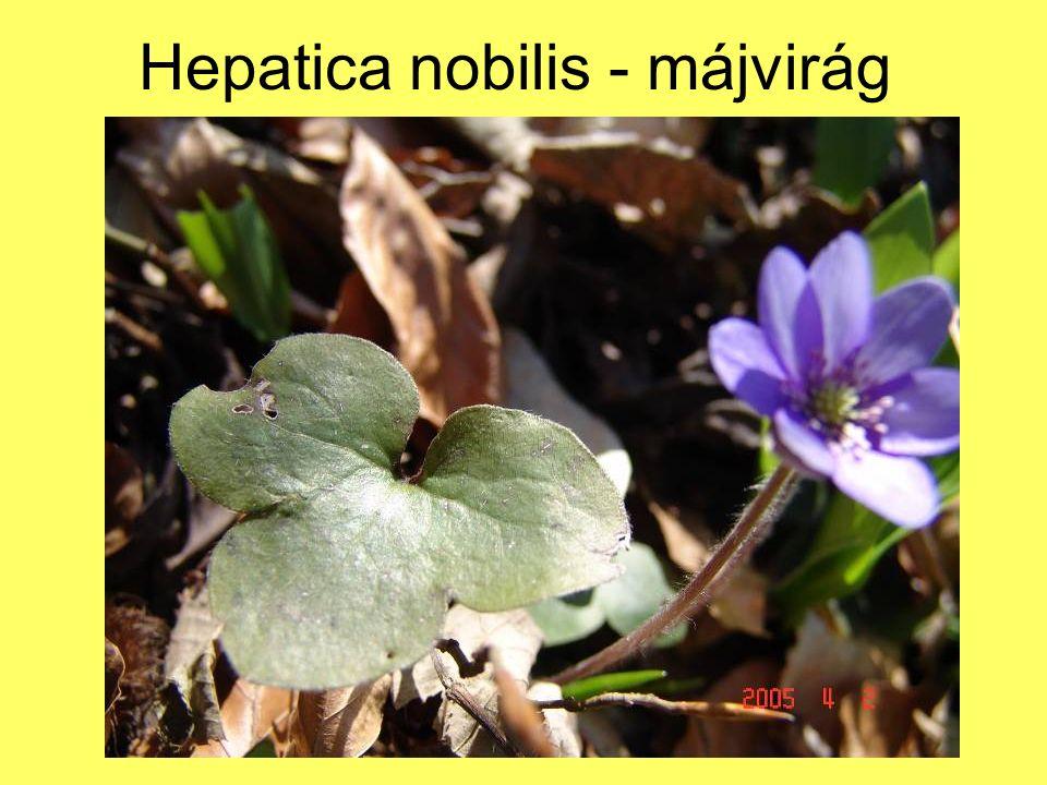 Hepatica nobilis - májvirág