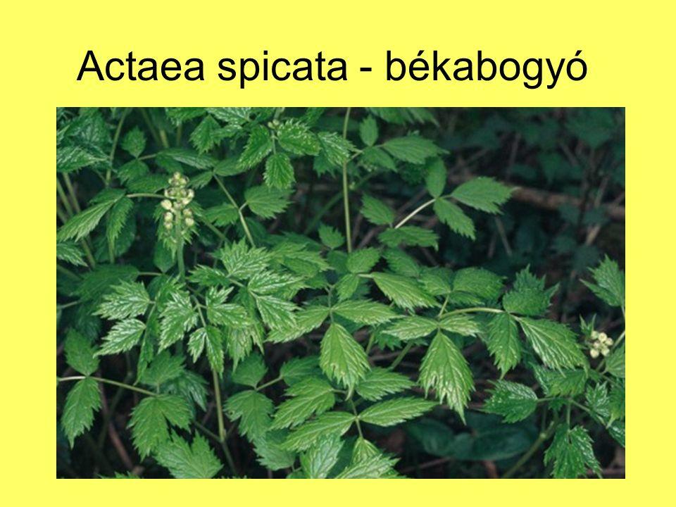 Actaea spicata - békabogyó