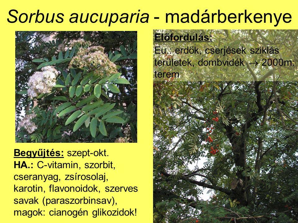Sorbus aucuparia - madárberkenye Előfordulás: Eu.: erdők, cserjések sziklás területek, dombvidék  2000m: terem Begyűjtés: szept-okt.