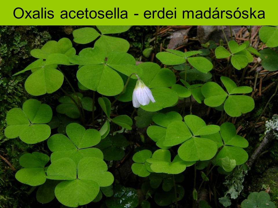 Oxalis acetosella - erdei madársóska