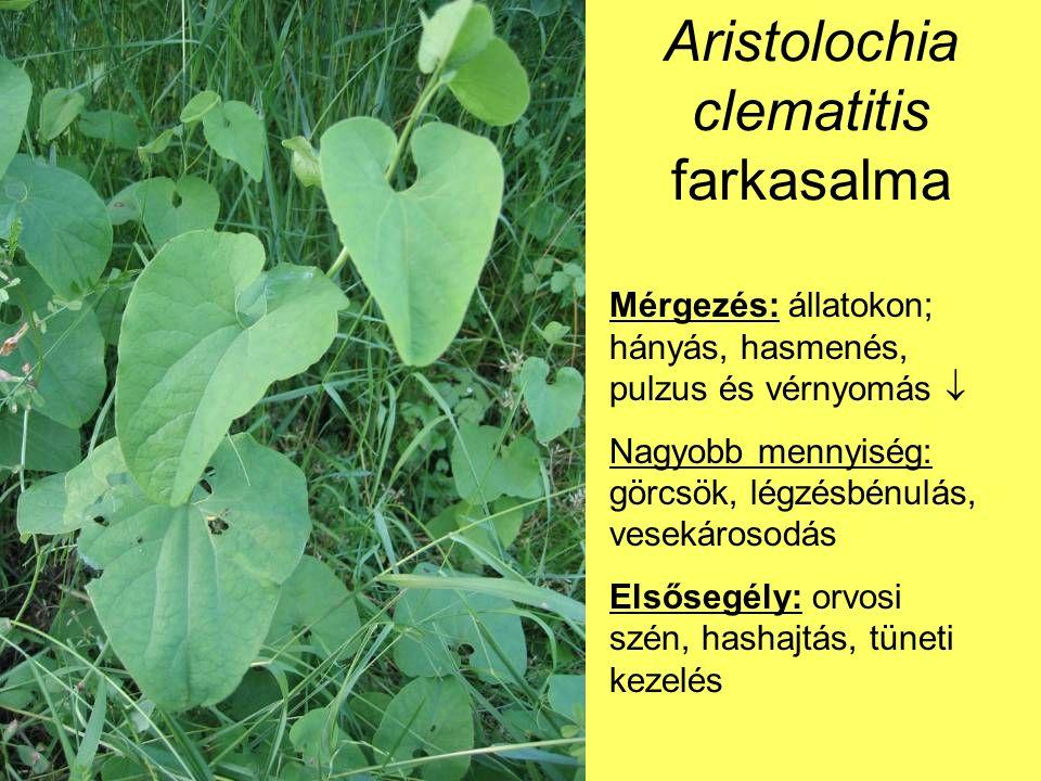Aristolochia clematitis farkasalma Mérgezés: állatokon; hányás, hasmenés, pulzus és vérnyomás  Nagyobb mennyiség: görcsök, légzésbénulás, vesekárosodás Elsősegély: orvosi szén, hashajtás, tüneti kezelés