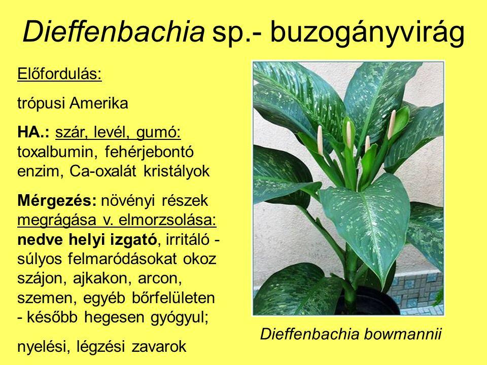 Dieffenbachia sp.- buzogányvirág Előfordulás: trópusi Amerika HA.: szár, levél, gumó: toxalbumin, fehérjebontó enzim, Ca-oxalát kristályok Mérgezés: növényi részek megrágása v.