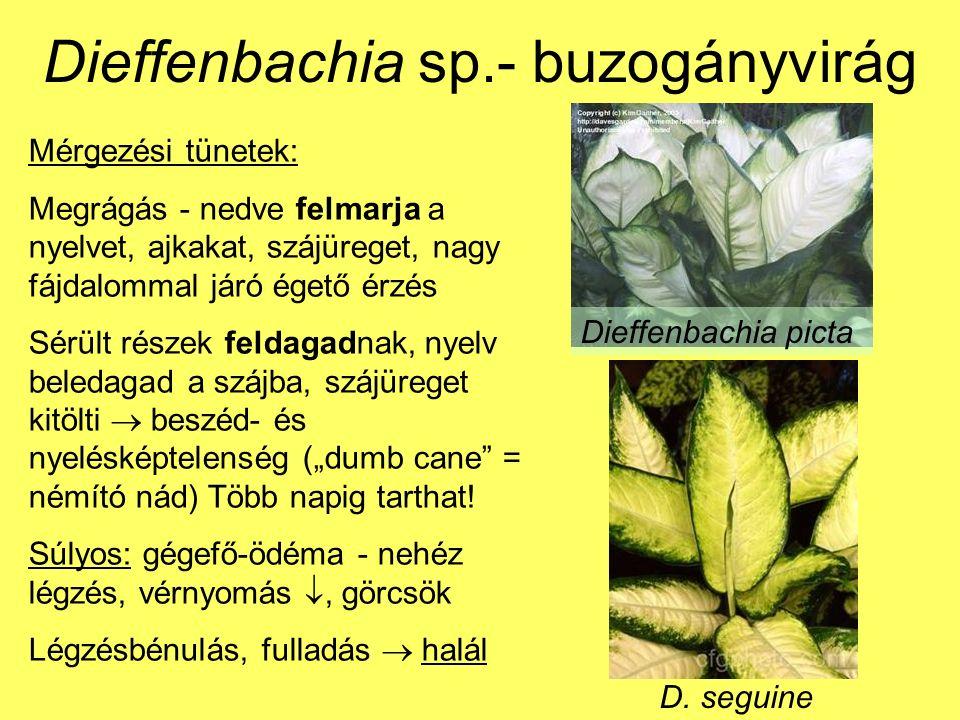 """Dieffenbachia sp.- buzogányvirág Mérgezési tünetek: Megrágás - nedve felmarja a nyelvet, ajkakat, szájüreget, nagy fájdalommal járó égető érzés Sérült részek feldagadnak, nyelv beledagad a szájba, szájüreget kitölti  beszéd- és nyelésképtelenség (""""dumb cane = némító nád) Több napig tarthat."""
