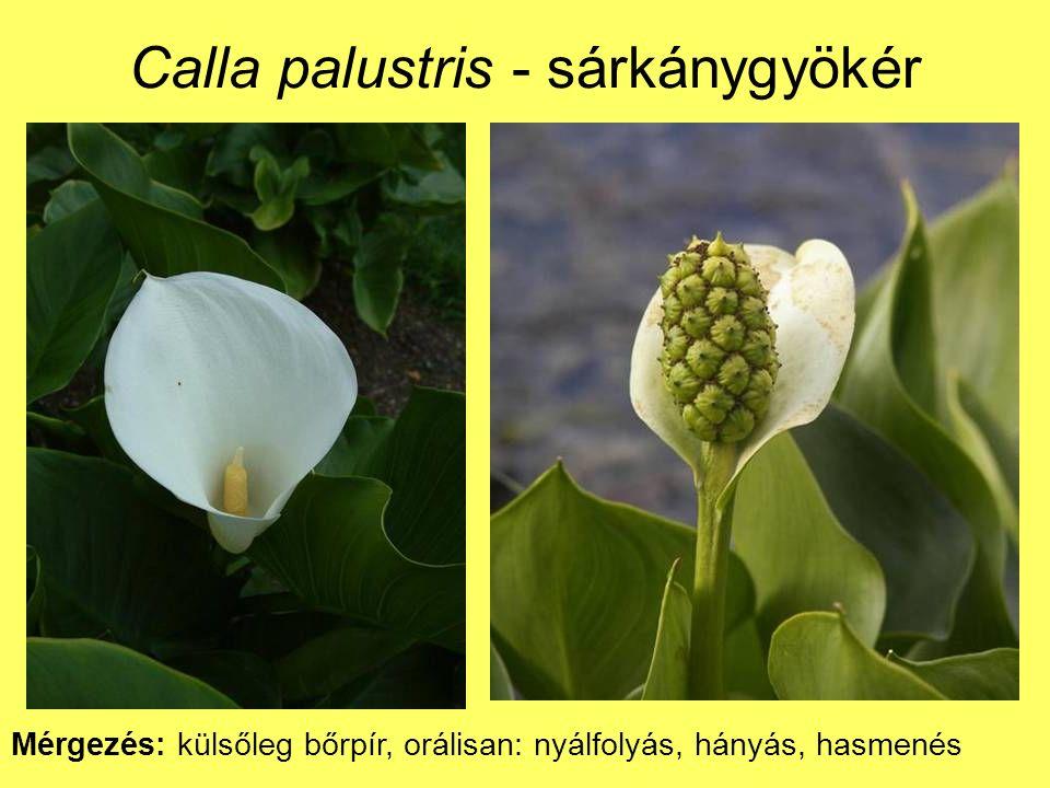 Calla palustris - sárkánygyökér Mérgezés: külsőleg bőrpír, orálisan: nyálfolyás, hányás, hasmenés