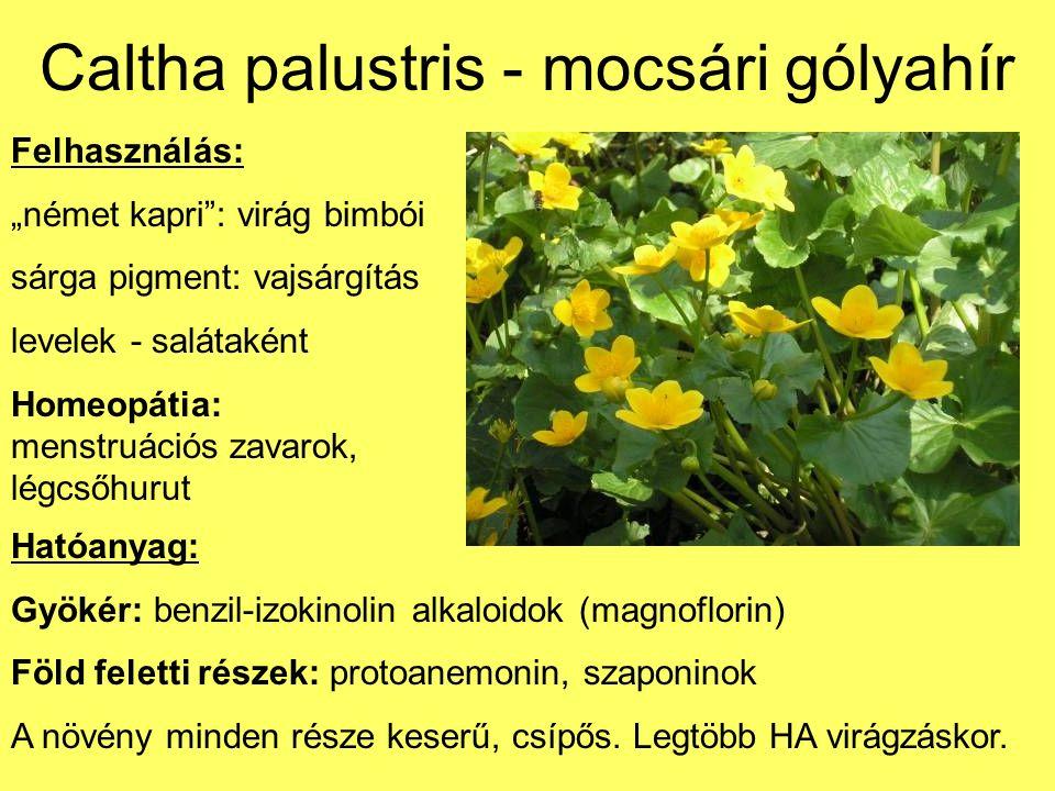 Caltha palustris - mocsári gólyahír Mérgezés tünetei: 1-2 h: gyomor-, bélpanaszok, szájban, torokban, garatban égő érzés, hányinger, hányás, kólikás görcsök Vesekárosodás: heveny vesegyulladás, fehérje- és vérvizelés, fájdalmas, gyakori vizelés Szívizom károsodása - szívműködési zavarok Halál: szív- vagy légzésbénulás (1-2 nap múlva) Elsősegélynyújtás: hánytatás; hashajtás ricinusolajjal v.