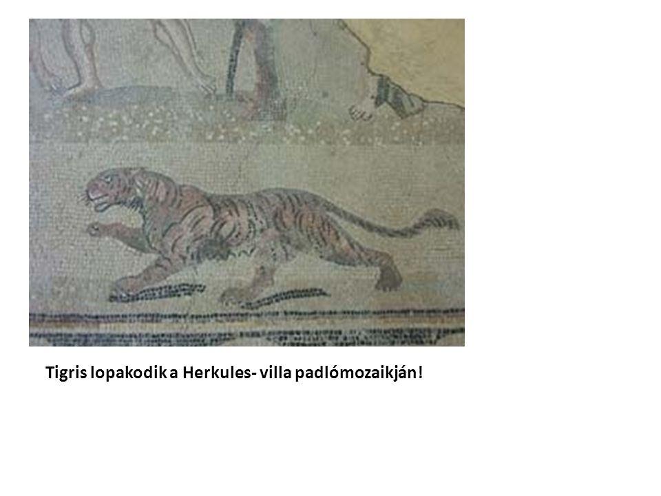 Tigris lopakodik a Herkules- villa padlómozaikján!