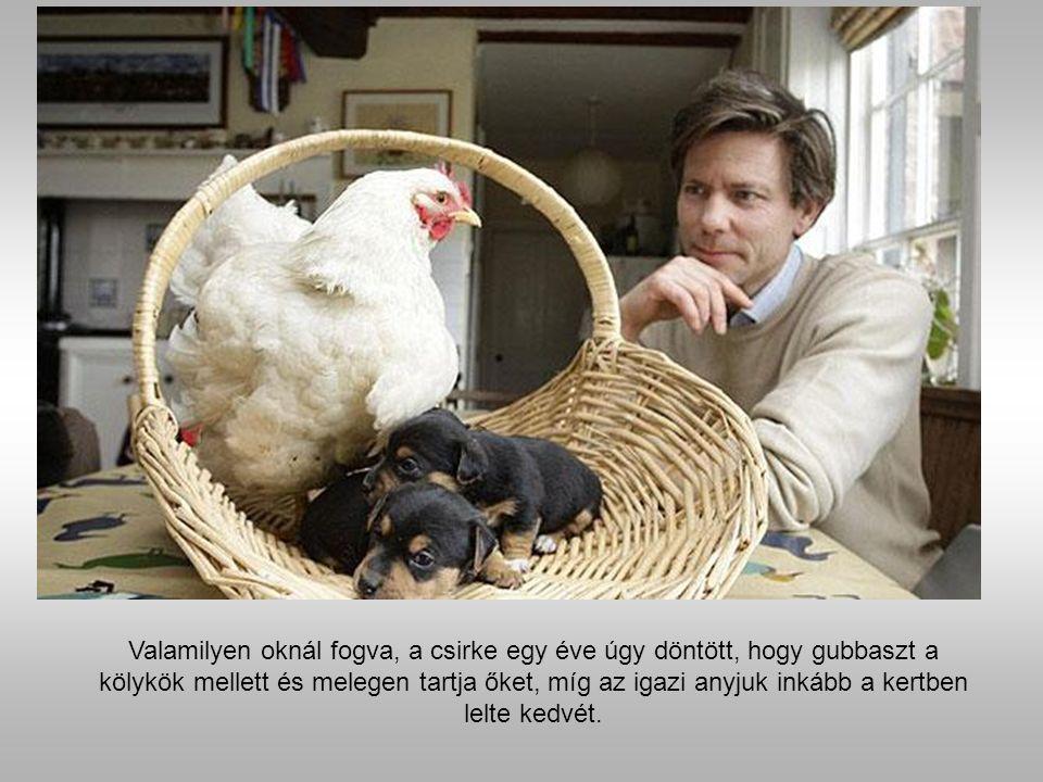 Mabel a csirke és a kölykök. Épp hogy felépült egy lábsérülésből Mable új elfoglaltságot talált.
