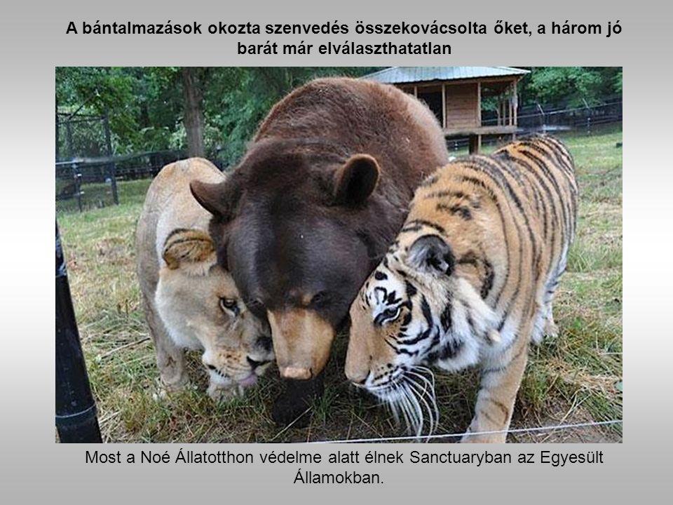 Balu, a medve elszenvedett bántásait műtéttel kellett korigálni.