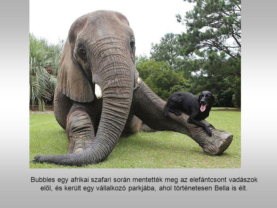 Bubbles az afrikai elefánt és Bella fekete labrador.