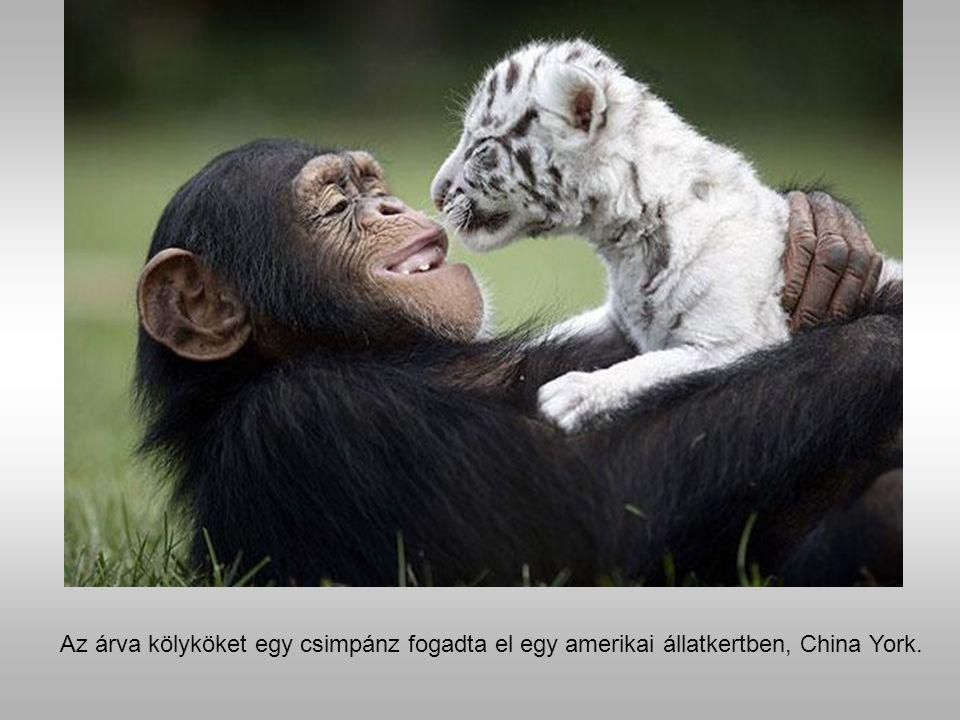 Anjana a csimpánz és a tigris kölykök.