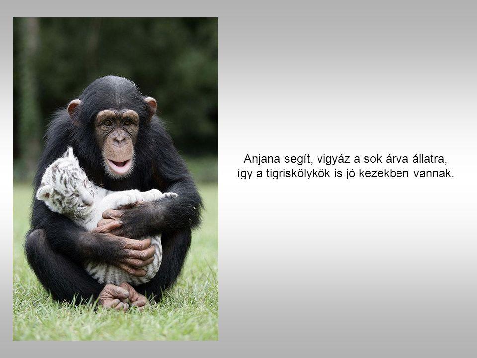 Az árva kölyköket egy csimpánz fogadta el egy amerikai állatkertben, China York.