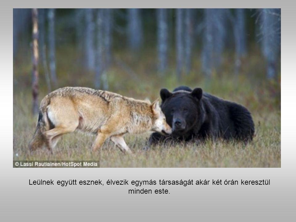 Medve és a farkas.
