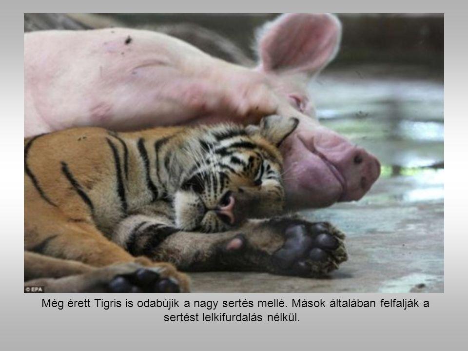 Tigrisek és a sertés Thaiföldön, ahol több mint 400 bengáli tigris él megszokott, hogy ezek az állatok boldog családot alkotnak a sertésekkel és más fajokkal.