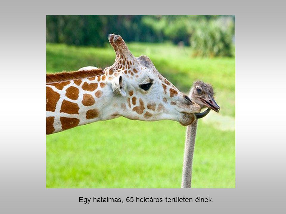 Bea egy zsiráf és Wilma egy strucc.