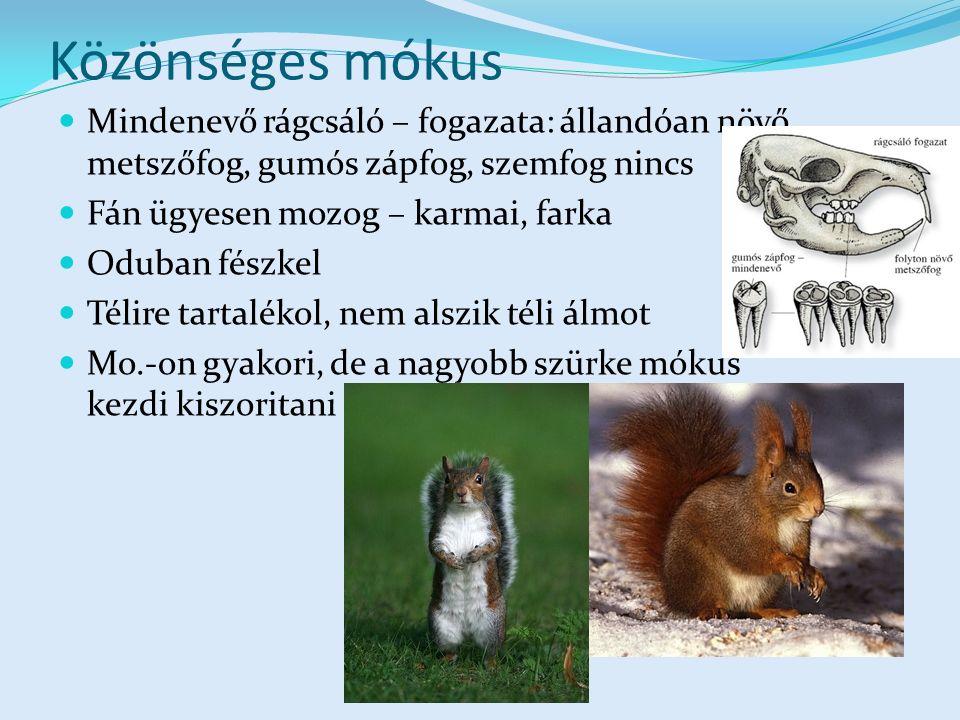 Közönséges mókus Mindenevő rágcsáló – fogazata: állandóan növő metszőfog, gumós zápfog, szemfog nincs Fán ügyesen mozog – karmai, farka Oduban fészkel Télire tartalékol, nem alszik téli álmot Mo.-on gyakori, de a nagyobb szürke mókus kezdi kiszoritani