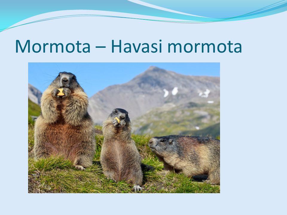 Mormota – Havasi mormota