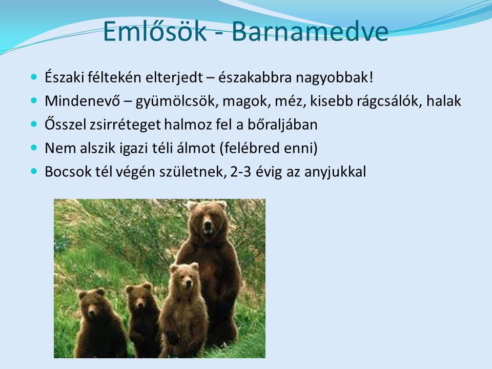 Emlősök - Barnamedve Északi féltekén elterjedt – északabbra nagyobbak.