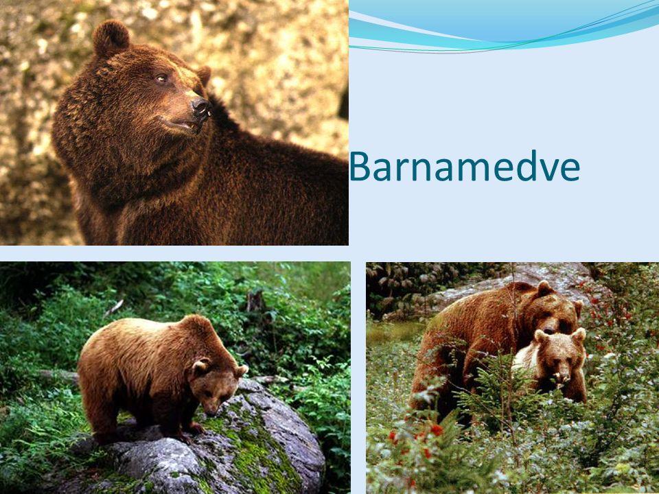 Feketemedve (Észak-Amerika) Bocs