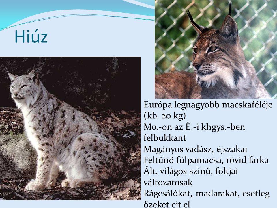 Hiúz Európa legnagyobb macskaféléje (kb.