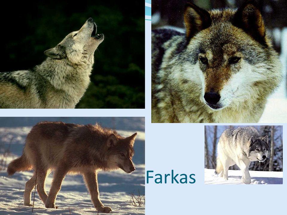 Szürke farkas Északi populációk testmérete nagyobb (70 kg lehet) Falkában vadásznak, nagy területet bejárnak Nagyobb emlősöket is leteritenek Többnyire éjszaka mozognak Karmai nem húzhatók vissza, kopnak Mo.-on már nem él (bizonyithatóan) Kutya őse