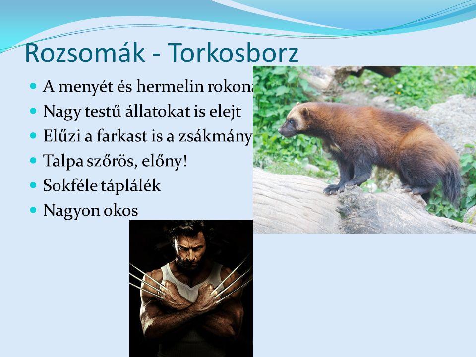 Rozsomák - Torkosborz A menyét és hermelin rokona Nagy testű állatokat is elejt Elűzi a farkast is a zsákmánytól Talpa szőrös, előny.