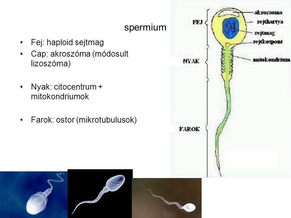 spermium Fej: haploid sejtmag Cap: akroszóma (módosult lizoszóma) Nyak: citocentrum + mitokondriumok Farok: ostor (mikrotubulusok)