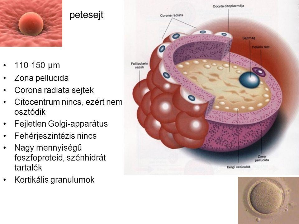110-150 μm Zona pellucida Corona radiata sejtek Citocentrum nincs, ezért nem osztódik Fejletlen Golgi-apparátus Fehérjeszintézis nincs Nagy mennyiségű foszfoproteid, szénhidrát tartalék Kortikális granulumok petesejt