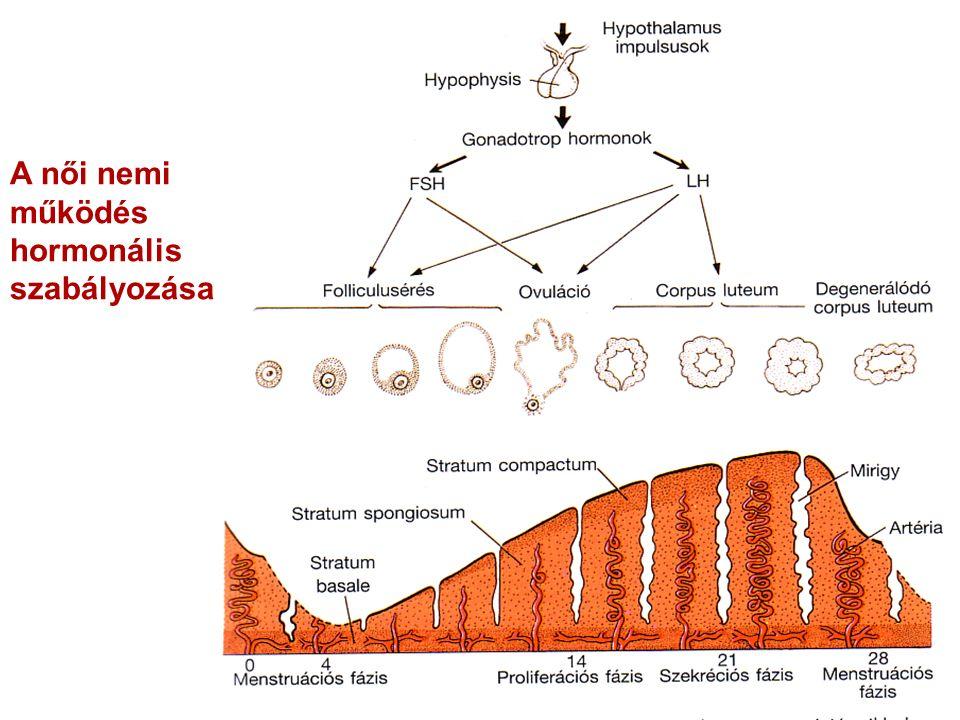 A női nemi működés hormonális szabályozása