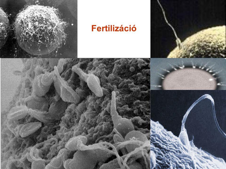 Fertilizáció