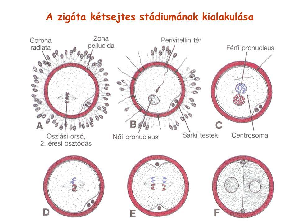 A zigóta kétsejtes stádiumának kialakulása
