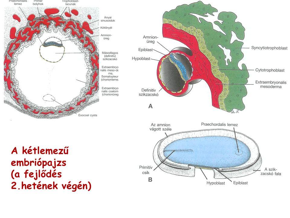 A kétlemezű embriópajzs (a fejlődés 2.hetének végén)