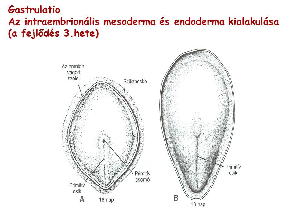Gastrulatio Az intraembrionális mesoderma és endoderma kialakulása (a fejlődés 3.hete)