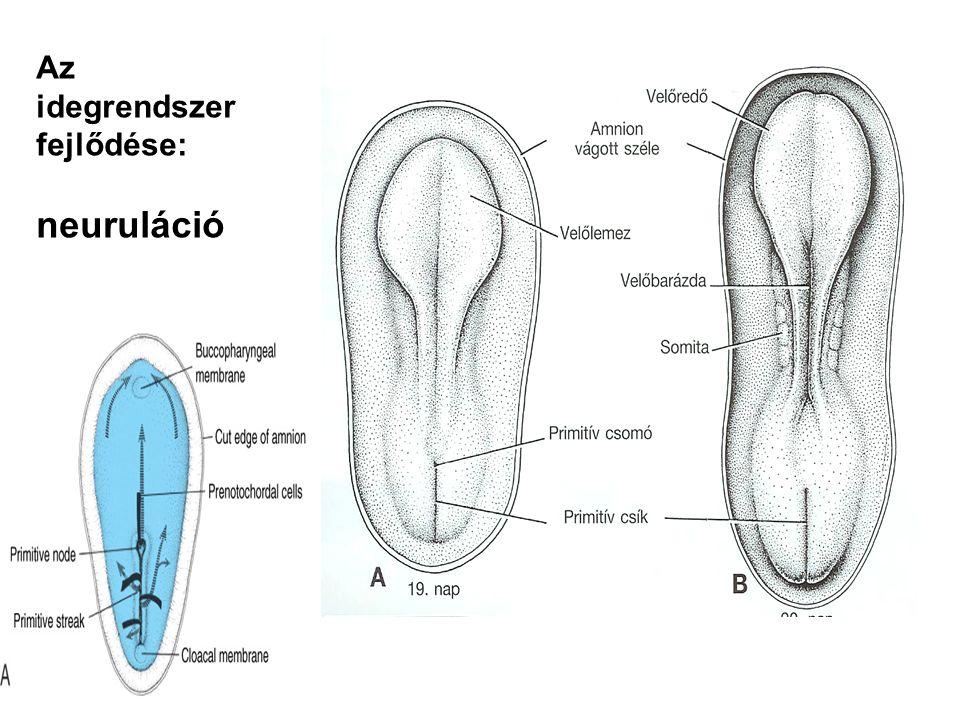 Az idegrendszer fejlődése: neuruláció
