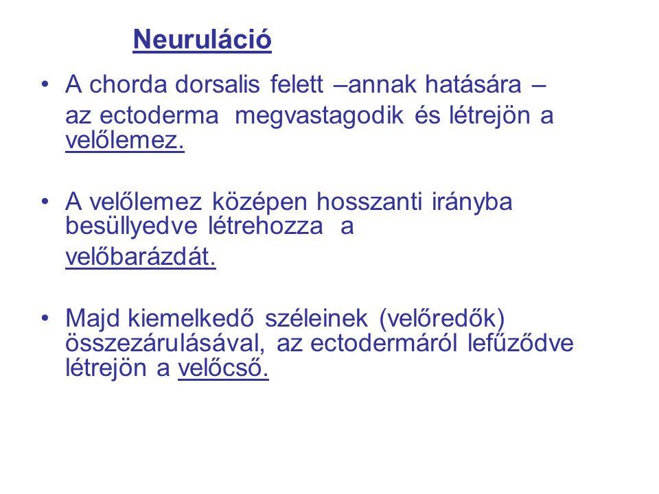 Neuruláció A chorda dorsalis felett –annak hatására – az ectoderma megvastagodik és létrejön a velőlemez.