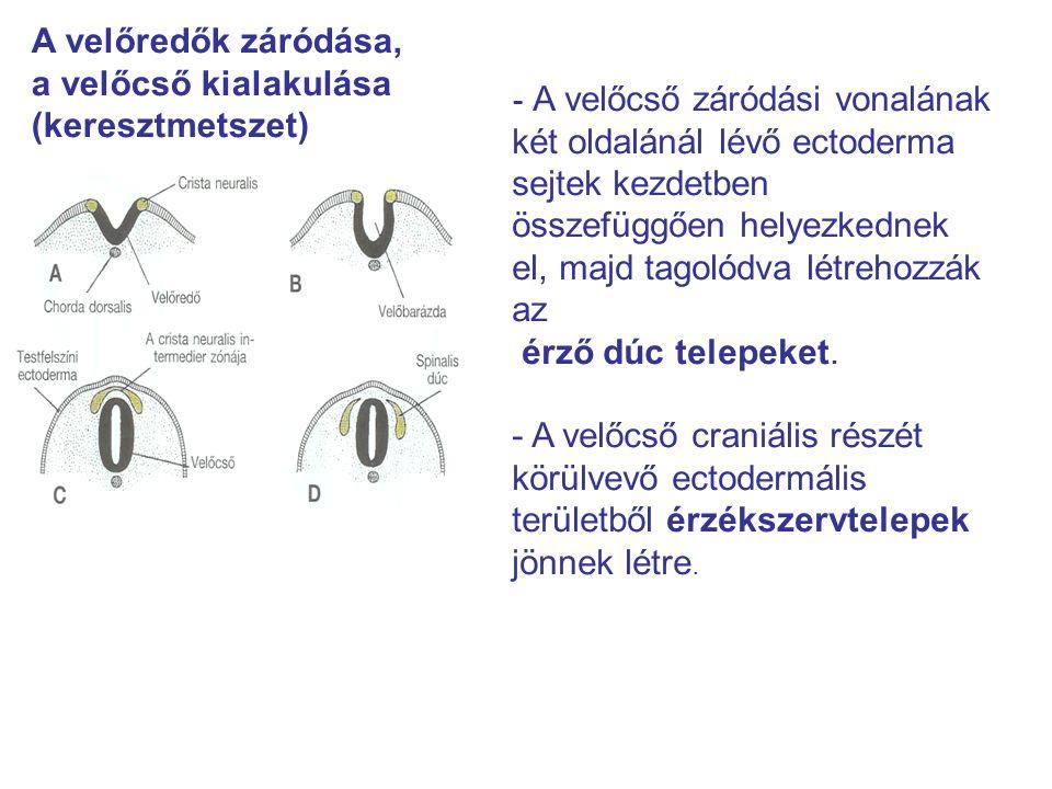 A velőredők záródása, a velőcső kialakulása (keresztmetszet) - A velőcső záródási vonalának két oldalánál lévő ectoderma sejtek kezdetben összefüggően helyezkednek el, majd tagolódva létrehozzák az érző dúc telepeket.