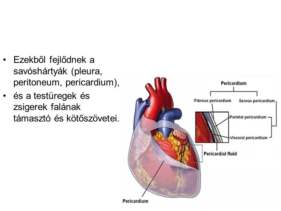 Ezekből fejlődnek a savóshártyák (pleura, peritoneum, pericardium), és a testüregek és zsigerek falának támasztó és kötőszövetei.