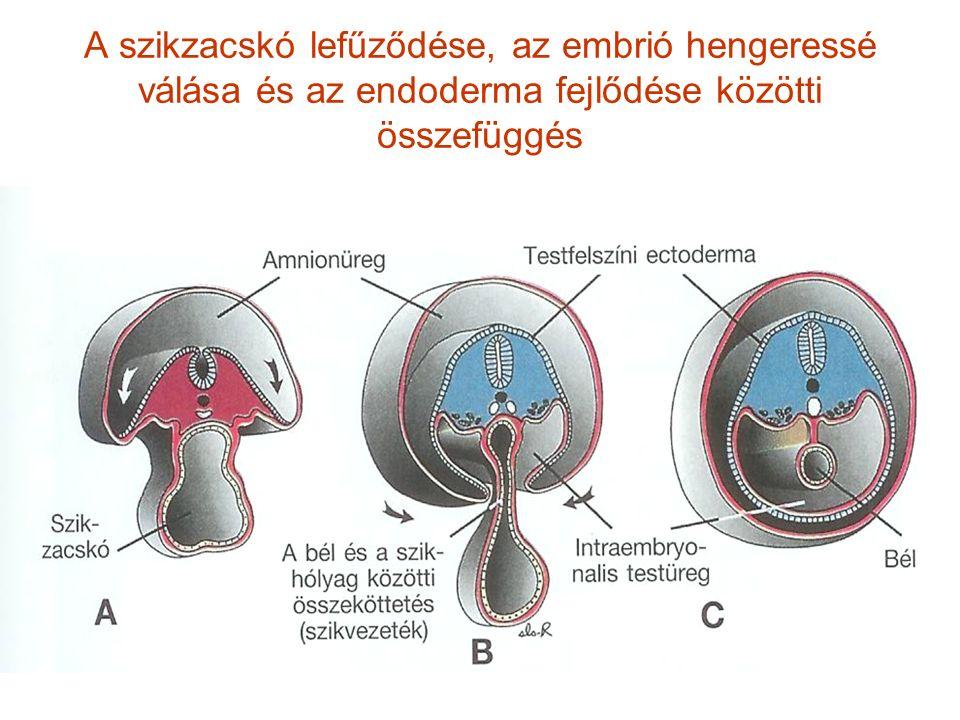A szikzacskó lefűződése, az embrió hengeressé válása és az endoderma fejlődése közötti összefüggés