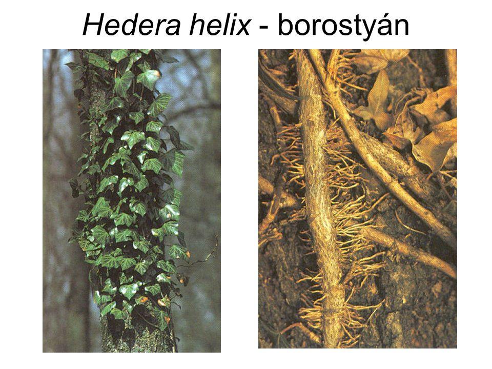 Hedera helix - borostyán