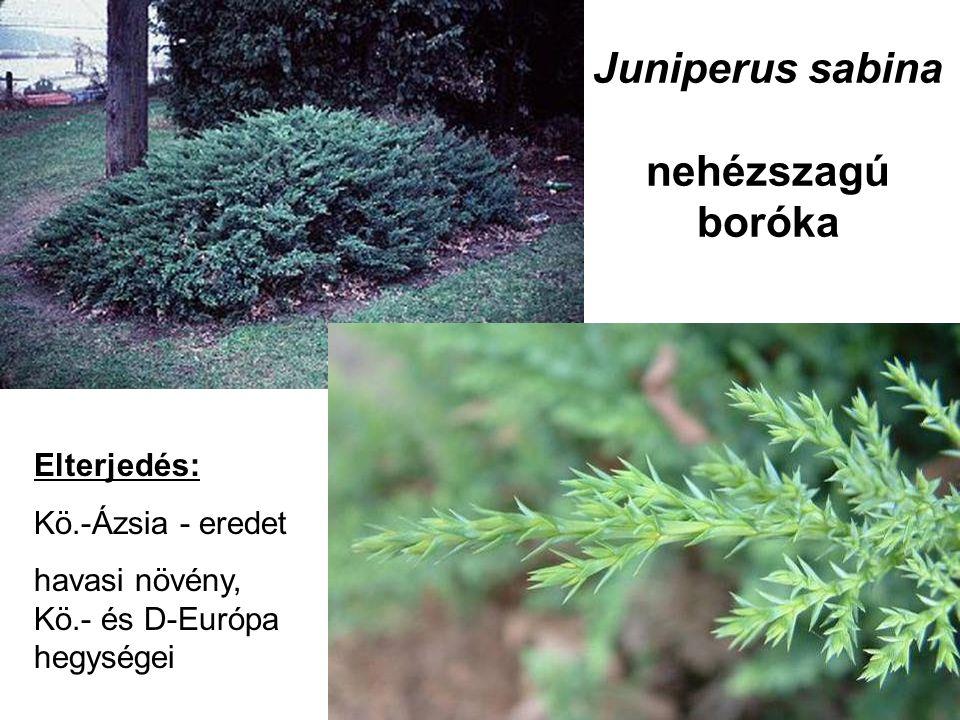 Juniperus sabina nehézszagú boróka Elterjedés: Kö.-Ázsia - eredet havasi növény, Kö.- és D-Európa hegységei